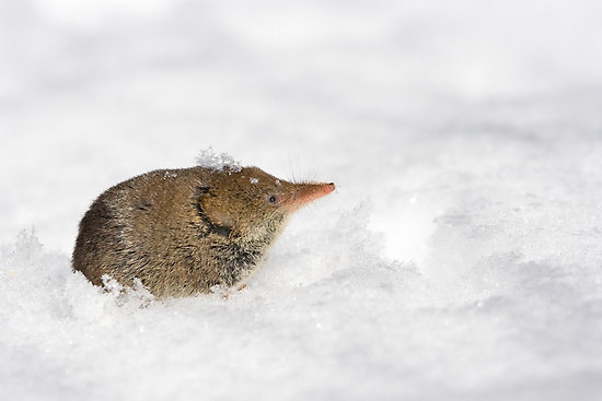 A Shrew in Snow